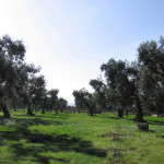 old olives trees